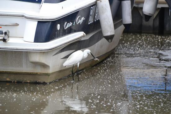 Aigrette en pêche au port